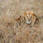 Leeuw Serengeti National Park