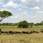 Wildebeesten Serengeti National Park