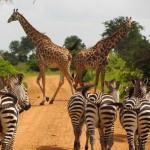 Zebra's en Giraffen Mikumi National Park