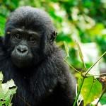 Baby Berggorilla Bwindi Impenetrable Forest