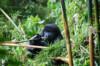 Berggorilla Bwindi Impenetrable Forest Oeganda