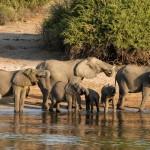 Botswana Chobe Olifanten