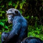 Chimpansee Kibale Forest Oeganda