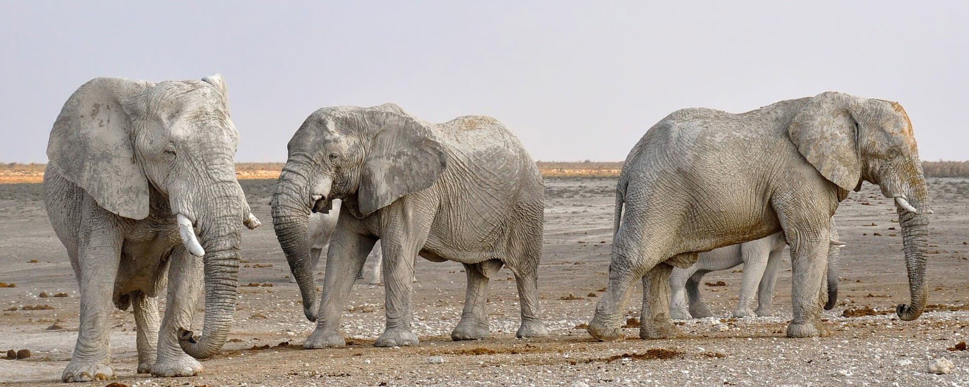 Namibië olifanten